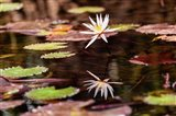 Lily in bloom on the Du River, Monrovia, Liberia Art Print