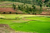 People working in green rice fields, Madagascar Art Print