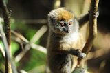 Madagascar, Andasibe, Ile Aux Lemuriens, baby Golden Bamboo Lemur. Art Print