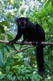 Black Lemur male and female, Lokobe Nature Special Reserve, Northern Madagascar Art Print