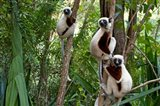 Coquerel's sifakas, (Propithecus coquereli), Madagascar Art Print