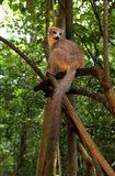 Crowned Lemur (Eulemur coronatus), Ankarana National Park, Northern Madagascar Art Print