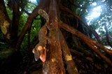 Giant leaf-tailed gecko (Uroplatus fimbriatus), Nosy Mangabe Reserve, Madagascar Art Print
