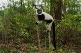 Lemur, Madagascar Art Print