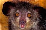Aye-Aye, Madagascar Art Print