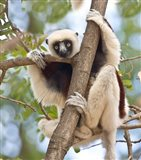 Madagascar, Sifaka lemur wildlife in tree Art Print