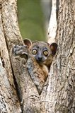 Madagascar, White-footed sportive lemur primate Art Print