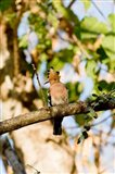 Indian Ocean, Madagascar. Hoopoe bird on tree limb. Art Print