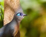 Madagascar, Crested coua bird next to tree Art Print