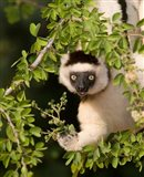 Madagascar. Verreaux's sifaka hanging in tree. Art Print