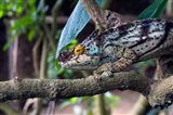 Chameleon on tree limb, Madagascar Art Print