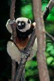 Propithecus sifaka lemur, Madagascar Art Print