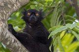 Madagascar Wild Black Lemur Male Art Print