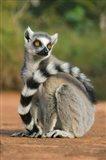 Close up of Ring-tailed Lemur, Madagascar Art Print