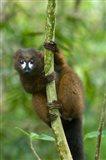 Primate, Red-bellied Lemur, Mantadia NP, Madagascar Art Print