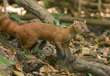 N. Ringtail Mongoose wildlife, Ankarana NP, Madagascar Art Print