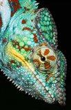 Panther Chameleon, Western Madagascar Art Print