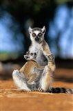 Ring-tailed Lemur primate, Berenty Reserve, Madagascar Art Print