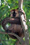 Brown Red-fronted Lemur, Primate, Madagascar Art Print