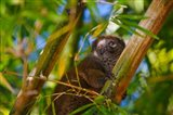 Bamboo lemur in the bamboo forest, Madagascar Art Print