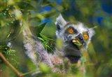 Ring-Tailed Lemur, Madagascar Art Print