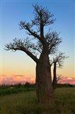 Baobob Trees, Berenty National park, Toliara, Madagascar Art Print