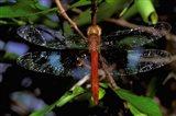 Madagascar, Ankarana Reserve, Malagasy Dragonfly insect Art Print