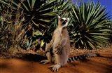 Madagascar, Berenty Private Reserve. Ring-tailed Lemur Art Print