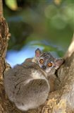 Madagascar, Berenty Reserve, Whitefooted sportive lemur Art Print