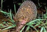 Madagascar, Ankarana, Greater Hedgehog tenrec wildlife Art Print