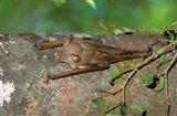 Madagascar, Commerson's leaf-nosed bat wildlife Art Print