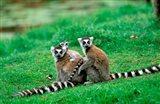Madagascar, Antananarivo, Ring-tailed lemur, primate Art Print