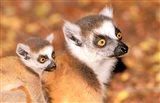 Madagascar, Berenty Reserve, Ring-tailed lemur primates Art Print