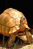 Plough-share Tortoise, Ampijeroa Forest Station, Madagascar Art Print