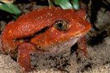 Africa, Madagascar. Tomato frog (Dyscophus antongili) Art Print
