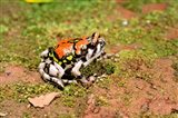 Africa, Madagascar, Isalo. Terrible frog Art Print