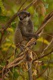Mongoose lemur wildlife, Ankarafantsika, MADAGASCAR Art Print