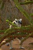 Ring-tailed lemur wildlife, Berenty Reserve, MADAGASCAR Art Print