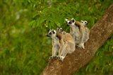 Ring-tailed lemurs, primates, Berenty Reserve MADAGASCAR Art Print
