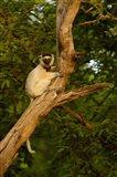 Verreaux's sifaka primate, Berenty Reserve, MADAGASCAR Art Print