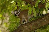 Ring-tailed lemur, Beza mahafaly reserve, MADAGASCAR Art Print