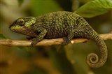 True Chameleon, Lizard, Madagascar, Africa Art Print
