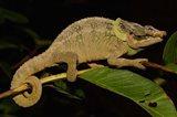 Green-eared Chameleon lizard, Madagascar, Africa Art Print