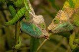 Oshaughnessyi Chameleon lizard, Madagascar, Africa Art Print