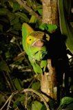 Parson's chameleon lizard, Ranomafana NP, Madagascar Art Print