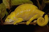 Globular Chameleon, Lizards, Madagascar Art Print