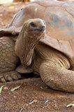 Seychelle Aldabran Land Tortoise, Casela Park, Mauritius Art Print