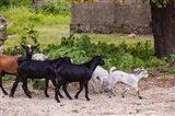 Africa, Mozambique, Ibo Island, Quirimbas NP. Goats running down path. Art Print