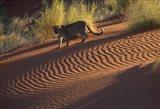 Leopard on sand dunes, Namib-Naukluft Park, Namibia Art Print