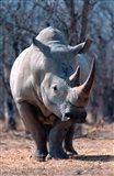 White Square-Lipped Rhino, Namibia Art Print
